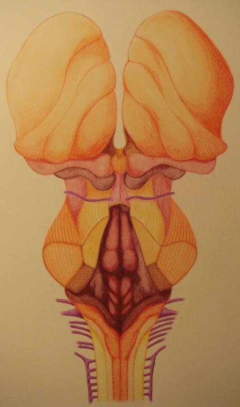 dorsal brainstem